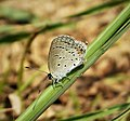Cupido comyntas texana Eastern-tailed Blue (42920886511).jpg