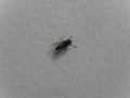Curious fly from Brasília, Brazil.png