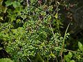 Cuscuta europaea (7838027574).jpg