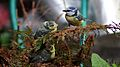 Cyanistes caeruleus -Norfolk, England -adult and chicks-8.jpg