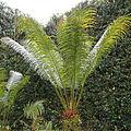 Cycas circinalis-IMG 9706.JPG