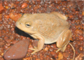 Cyclorana occidentalis, female, lateral view.png