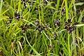 CyperusFuscus.jpg