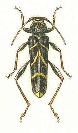 Cyrtoclytus capra germar 1824