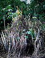 Cyrtopodium andersonii - habitat 2.jpg