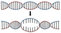 DNA Denaturation.png