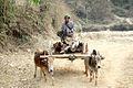 DSC00893 Burma Shan State Cows Transportation (4679154476).jpg