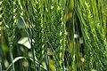 DSC5366 Пшениця.jpg