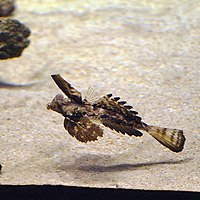 Dactylopus dactylopus by OpenCage