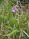 Dactylorhiza maculata habitus.jpeg