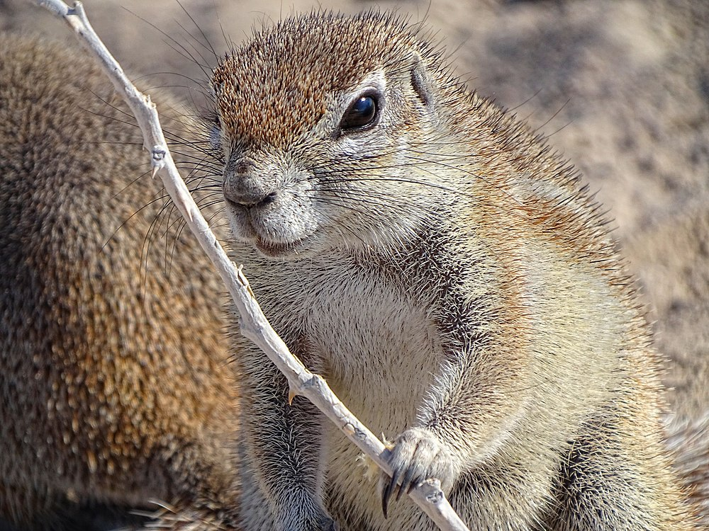 The average litter size of a Mountain ground squirrel is 2