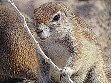 Damara-Ground-Squirrel-Etosha-2015.JPG