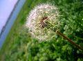 Dandelion Eforie Sud.jpg