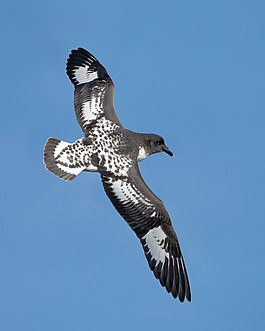 Daption capense in flight - SE Tasmania.jpg