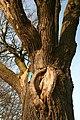 De 'Duizendjarige Eik' , opgaande boom - 375766 - onroerenderfgoed.jpg