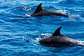 Delfín mular (Tursiops truncatus), isla de San Cristóbal, islas Galápagos, Ecuador, 2015-07-24, DD 87.JPG