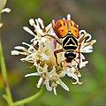 Delta Flower Scarab (Trigonopeltastes delta) (6245406089).jpg