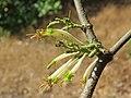 Dendrophthoe falcata var. falcata - Honey Suckle Mistletoe at Blathur 2017 (18).jpg
