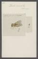 Derbe - Print - Iconographia Zoologica - Special Collections University of Amsterdam - UBAINV0274 042 03 0007.tif