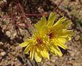 Desert Dandelion 01 (6918334828).jpg