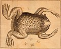 Developpement parfait du mystère de la génération du fameux crapaud de Surinam, nommé (1765) (14770245811).jpg