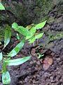 Dew drop leaf.jpg