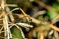 Deze libelle rust uit Nederland.jpg
