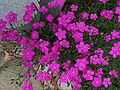 Dianthus aa3.jpg