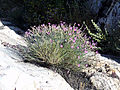 Dianthus toletanus Habitus2 Puertollano.jpg