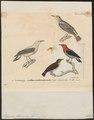 Dicaeum flammeum - 1700-1880 - Print - Iconographia Zoologica - Special Collections University of Amsterdam - UBA01 IZ19000267.tif