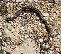 Dice Snake (Natrix tessellata), nonvenomous . Family Colubridae (44628235722).jpg