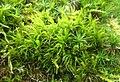 Dicranum scoparium Podkomorské lesy.jpg