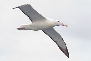 Northern royal albatross - Diomedea sanfordi - south east Tasmania