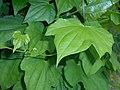 Dioscorea caucasica 2016-05-31 1882.jpg