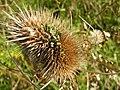 Dipsacus-fullonum-Teasel-seedhead-w-viviparous-germination-PortSunlightRiverPark-UK-23Oct2019.jpg
