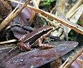 DirkvdM frog santa fe 0402.jpg