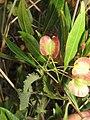 Dodonaea viscosa - Hop Bush at Chandragiri hills Shravanabelagola (8).jpg