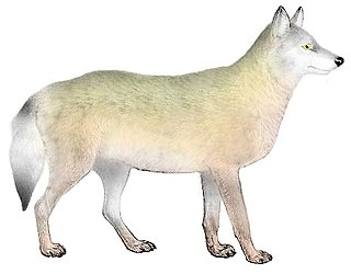 Southern Rocky Mountain wolf Extinct subspecies of the gray wolf