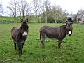 Donkeys at Ballyvollen - geograph.org.uk - 758306.jpg