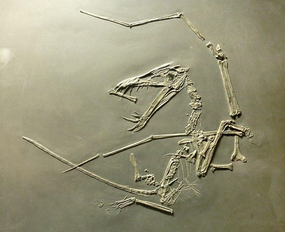 Dorygnathus banthensis (cast) at Göteborgs Naturhistoriska Museum 9000