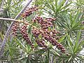 Dracaena reflexa fruits.JPG