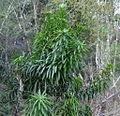 Dracaena sp. growth habit (5955026500).jpg