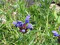Dracocephalum ruyschiana03.jpg