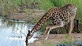 Drinking Giraffe (Giraffa camelopardalis) (6025274807).jpg