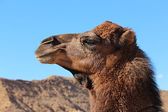 Dromedary - Dromedary head. Note the thick, double-layered eyelashes and bushy eyebrows.