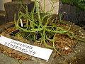 Drosera binata1.jpg