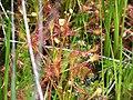 Drosera rotundifolia PinhookBog(2).jpg