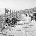 Druivenplukkers aan het werk, Bestanddeelnr 254-4143.jpg