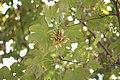 Drvenaste biljne vrste, Park Čair, Niš 14.jpg
