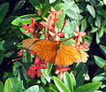 Dryas iulia, The Key West Butterfly & Nature Conservatory, 2006-01-01.jpg